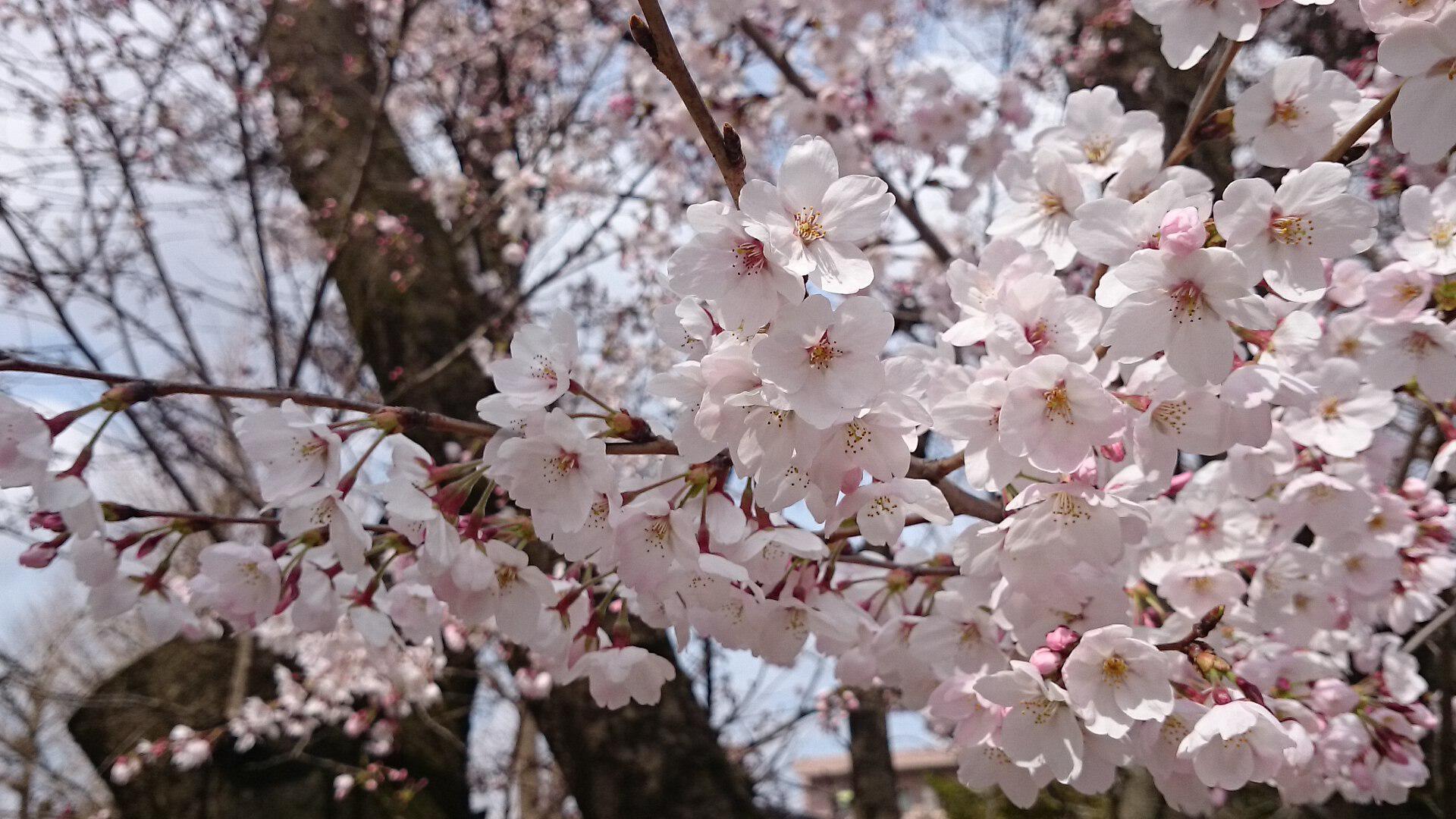 埼玉県桶川市の桜開花状況を写真で紹介 2017年4月2日